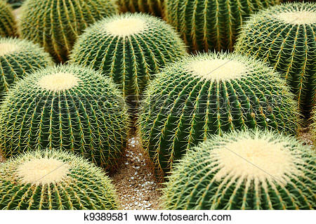 Stock Photography of Golden ball cactus k9389581.