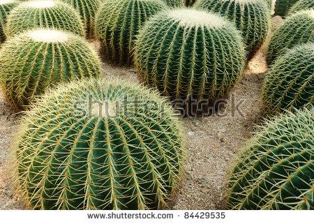 Golden Ball Cactus Echinocactus Grusonii Stock Photo 92691832.