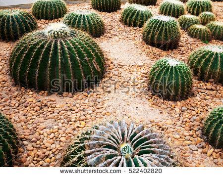 Golden Ball Cactus Stock Photos, Royalty.