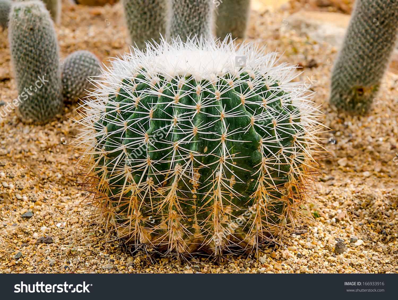 Golden Ball Cactus Echinocactus Grusonii Stock Photo 166933916.