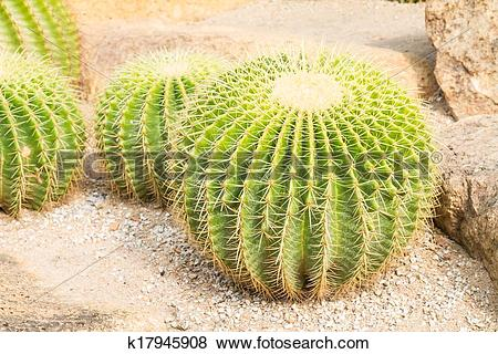 Pictures of Golden ball cactus k17945908.