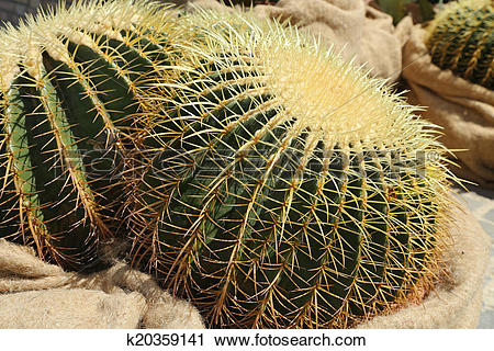 Stock Photography of Golden ball cactus k20359141.