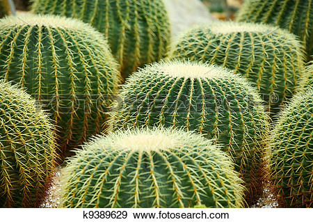Stock Photograph of Golden ball cactus k9389629.