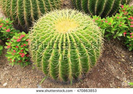"""golden Ball Cactus"""" Banco de imágenes. Fotos y vectores libres de."""