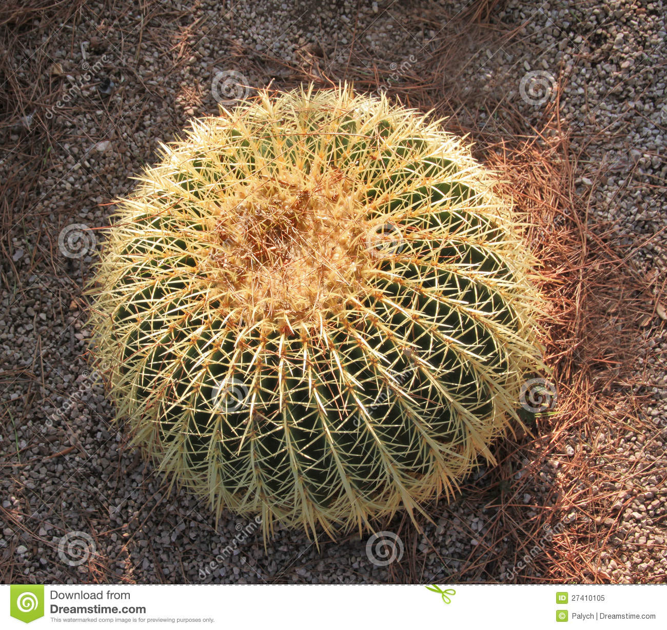 The Golden Ball Cactus Royalty Free Stock Photo.