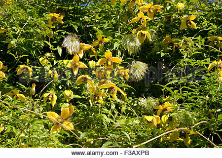 Golden Clematis (clematis Tangutica), Flowers Stock Photo, Royalty.