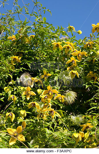 Golden Clematis Clematis Tangutica Stock Photos & Golden Clematis.