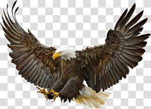 Golden Eagle transparent background PNG cliparts free.
