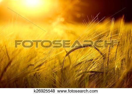 Pictures of Barley field in golden glow k26925548.