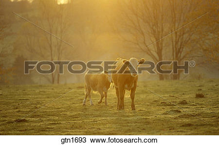 Stock Photo of Two cows in a pasture on a misty golden morning.