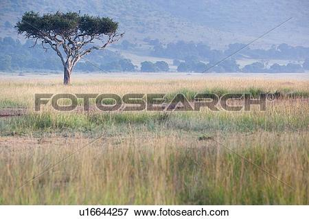 Picture of Single acacia tree bathed in golden morning light in.