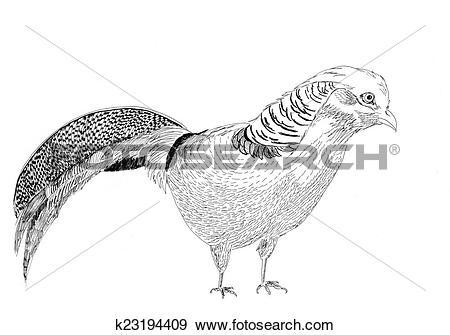 Stock Illustration of golden pheasant bird sketch illustration.
