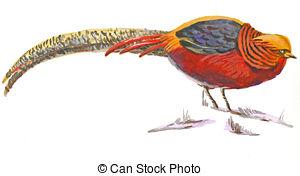 Golden pheasant Illustrations and Stock Art. 48 Golden pheasant.