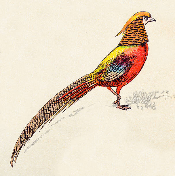 Silhouette Of The Golden Pheasant Clip Art, Vector Images.