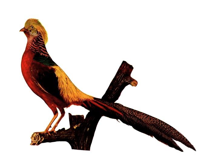 Pheasant Bird.