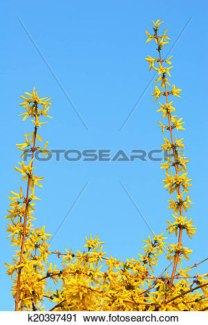 Stock Photography of Yellow golden rain flowers blooming in spring.