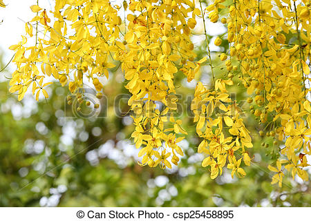 Stock Photographs of Flowers of the Golden Rain Tree close.