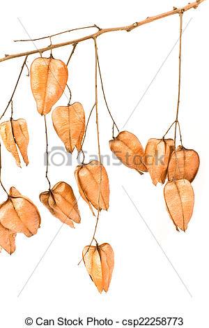 Picture of Golden Rain tree seed pods (koelreuteria paniculata) on.