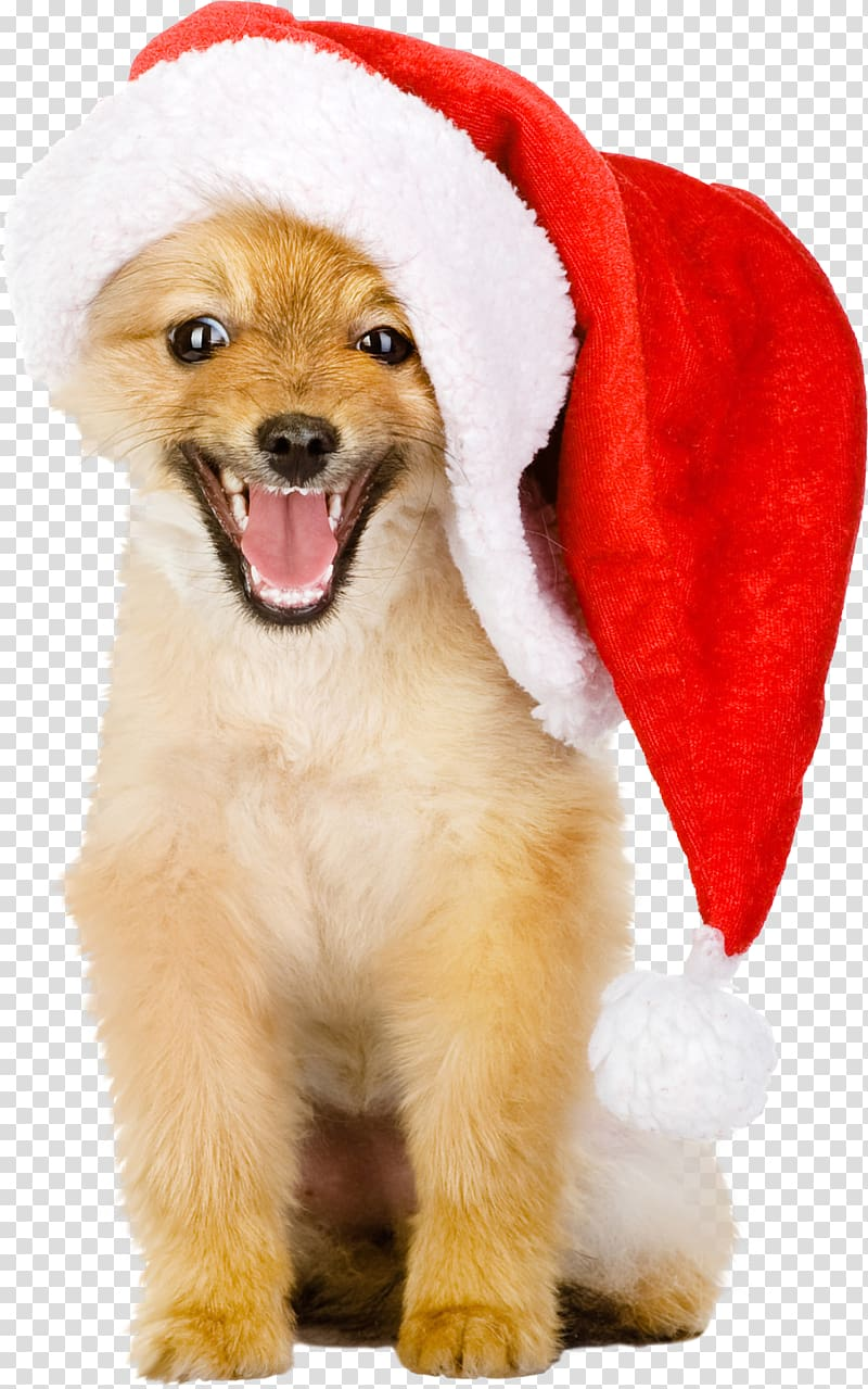Golden Retriever Puppy Christmas Hat, dogs transparent.