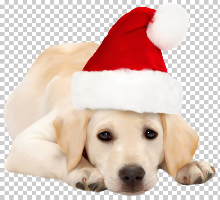 Labrador Retriever Golden Retriever Santa Claus Puppy.