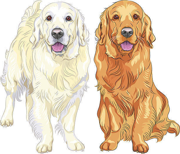 Best Golden Retriever Illustrations, Royalty.