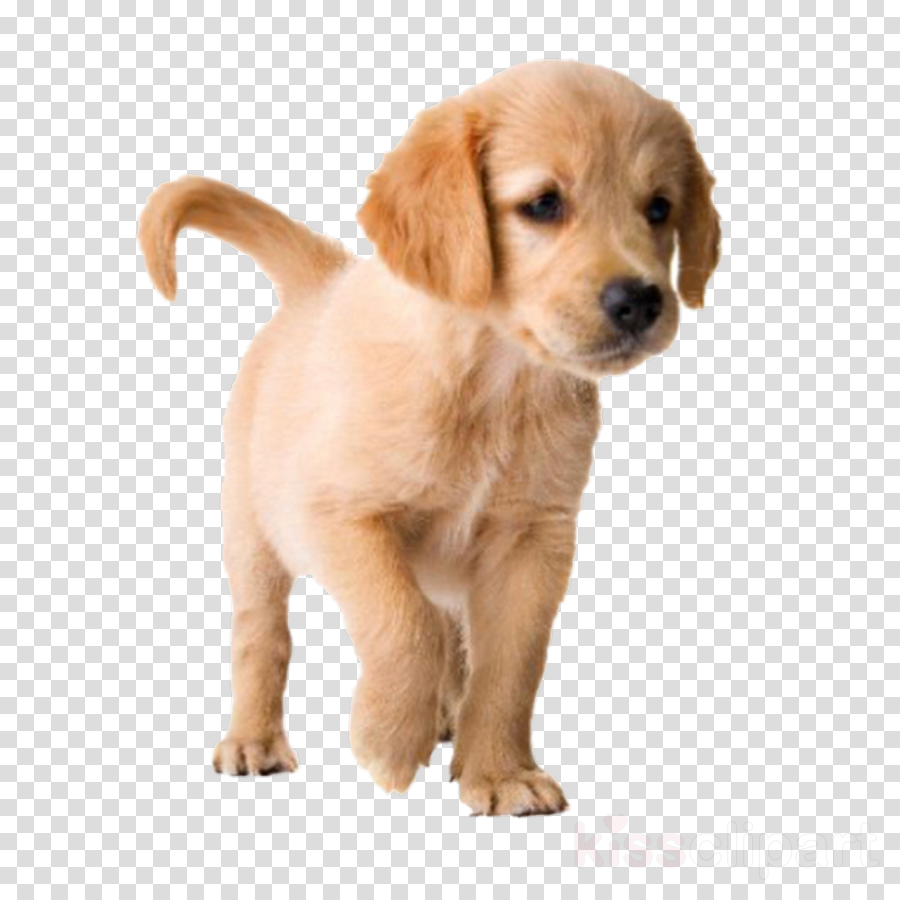 dog dog breed puppy golden retriever companion dog clipart.