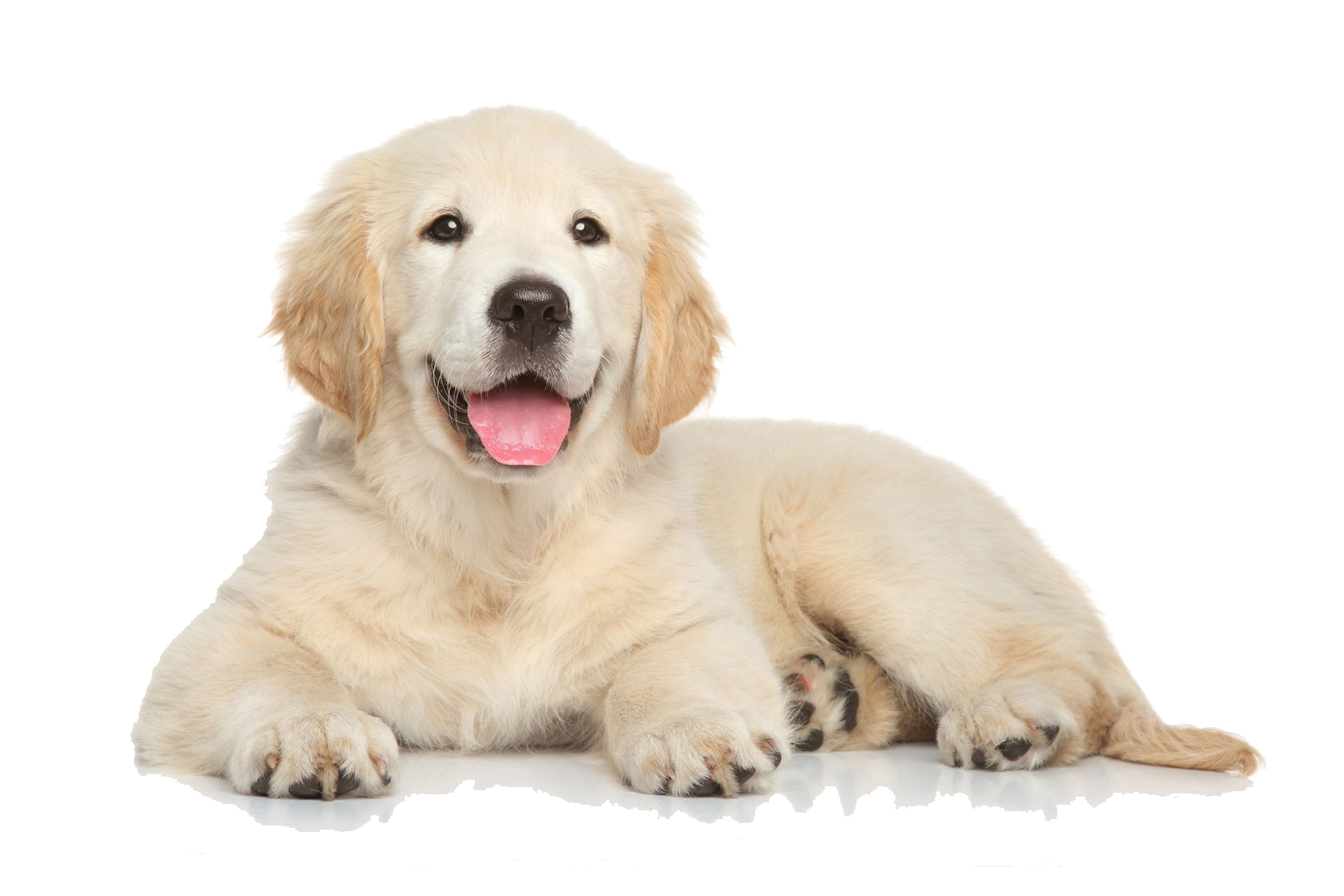 Golden Retriever PNG Photo Image.
