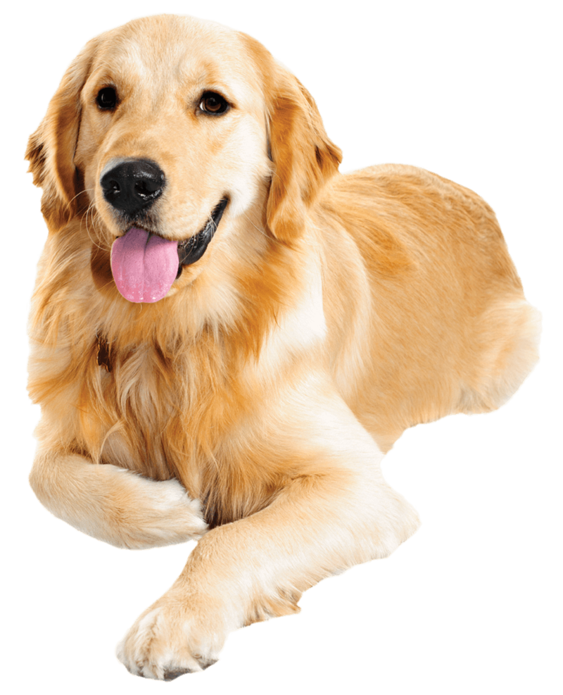 Download Free png Golden Retriever PNG Transparent Images.