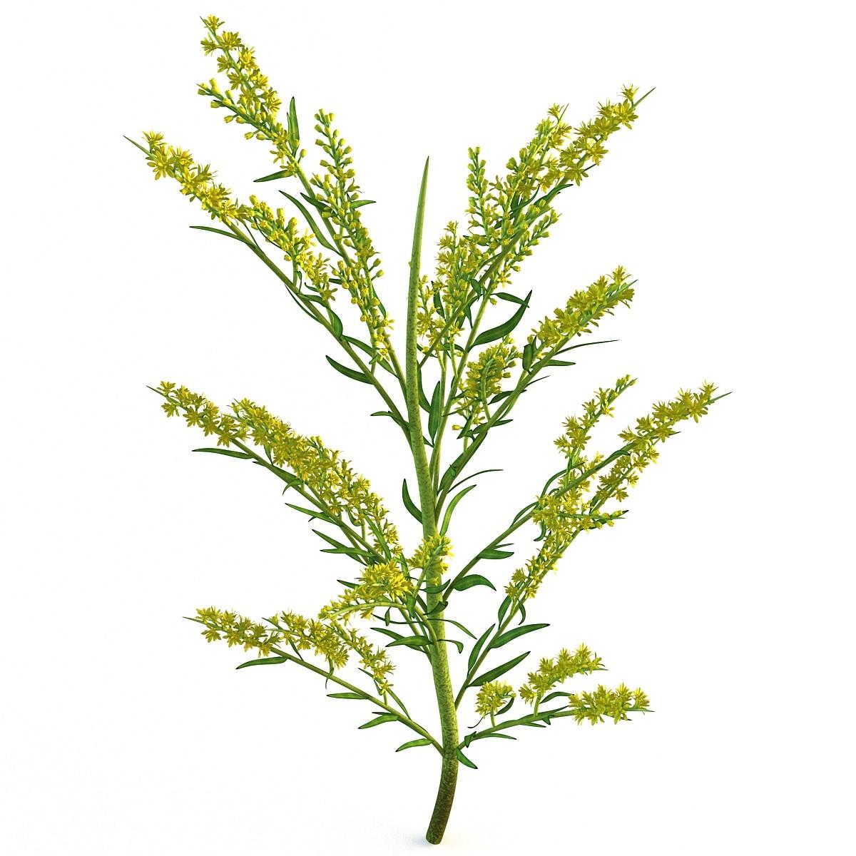 goldenrod plant 3d c4d.