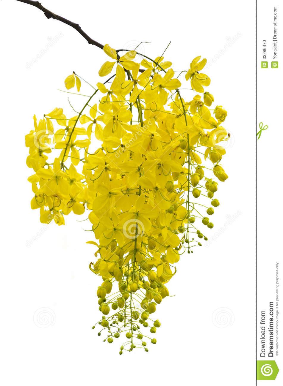 Golden Shower, Purging Cassia ( Cassis Fistula Linn ) Stock Photo.