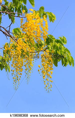 Pictures of Golden shower tree flowers k19698368.