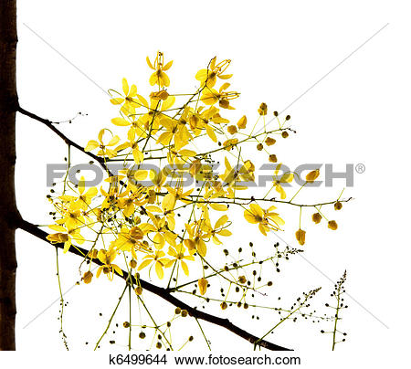 Stock Photo of Blossom of the Golden Shower Tree isolated on white.