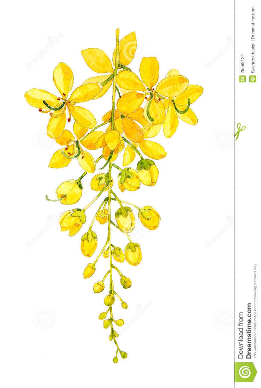 Golden Shower Tree Stock Images.
