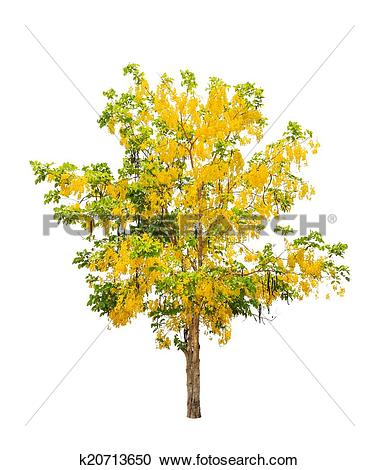 Picture of Golden shower tree (Cassia fistula), tropical tree in.