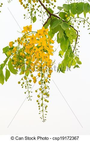 Stock Image of Flowers of Golden shower flower tre.