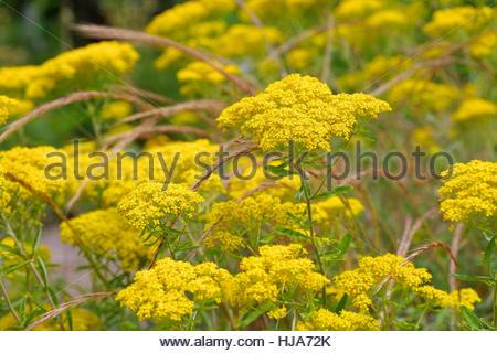 Yellow Alyssum Stock Photos & Yellow Alyssum Stock Images.