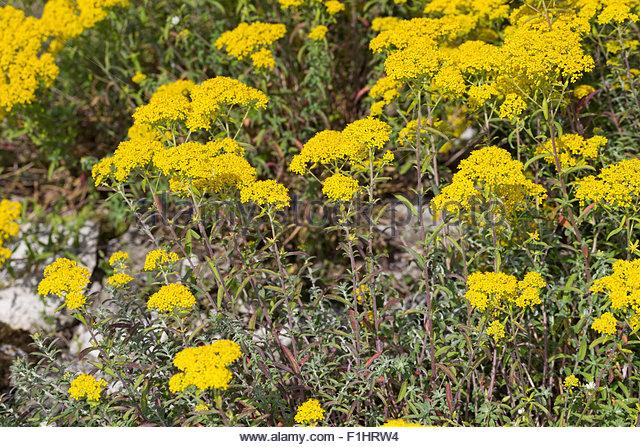 Mountain Alyssum Alyssum Stock Photos & Mountain Alyssum Alyssum.