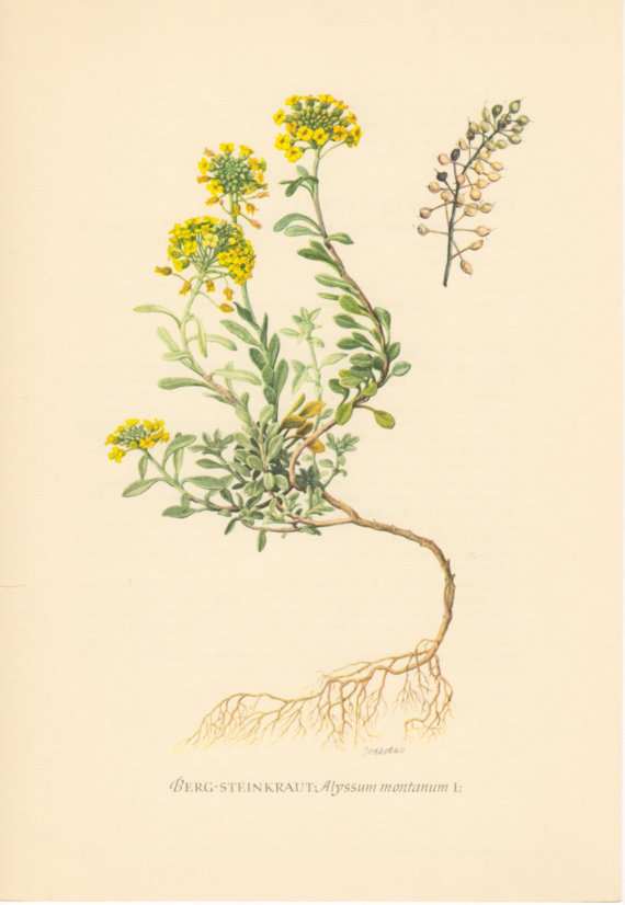 1955 Madwort, Antique Botanical Print, Vintage Lithograph, Alyssum.