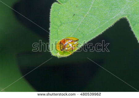Tortoise Beetles Stock Images, Royalty.