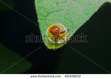 Tortoise Beetles Stock Images, Royalty.