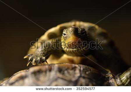 Golden Tortoise Head Stock Photos, Royalty.