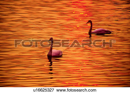 Picture of Two swans swimming in golden water u16625327.