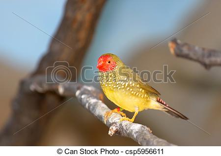 Stock Photography of Golden white eye bird.