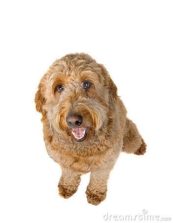Goldendoodle Dog Clip Art.