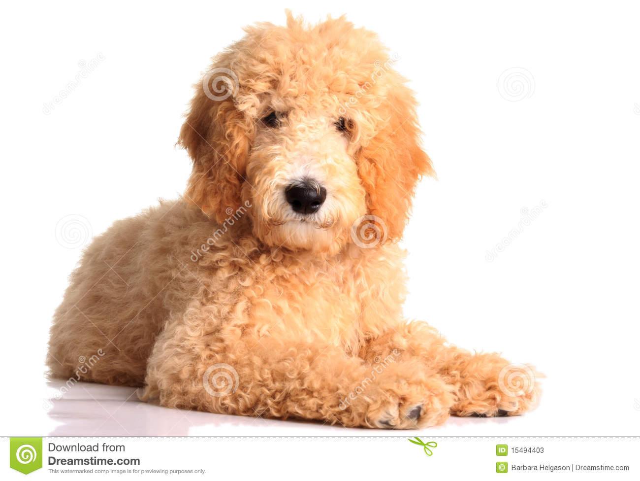 Goldendoodle Puppy Clipart.