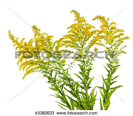 Stock Photo of Goldenrod plant k5382633.