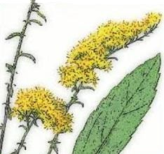 Free Goldenrod Clipart.