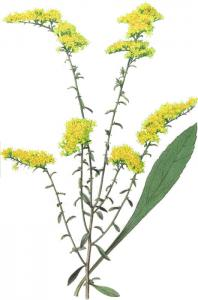 Field Goldenrod Clip Art Download.
