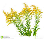 Free Goldenrod Clipart in goldenrod clipart collection.