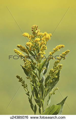 Stock Images of saskatchewan, goldenrod, scenic, roadside, found.